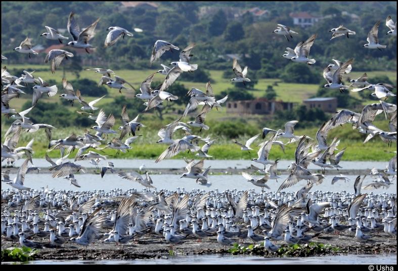 Migratory Terns