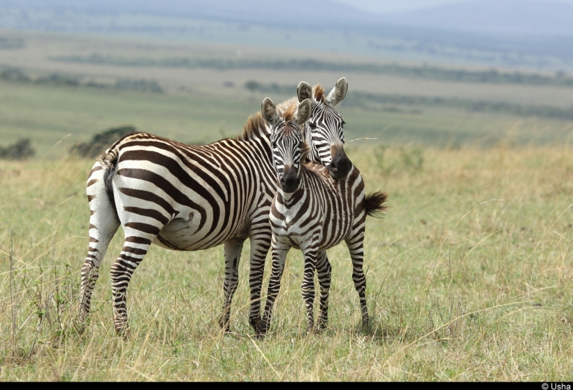 Mother and calf zebra