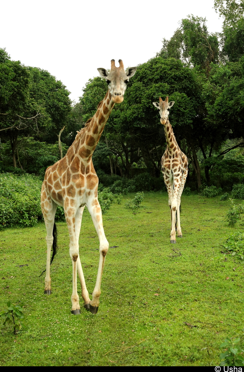 Male & Female Giraffe