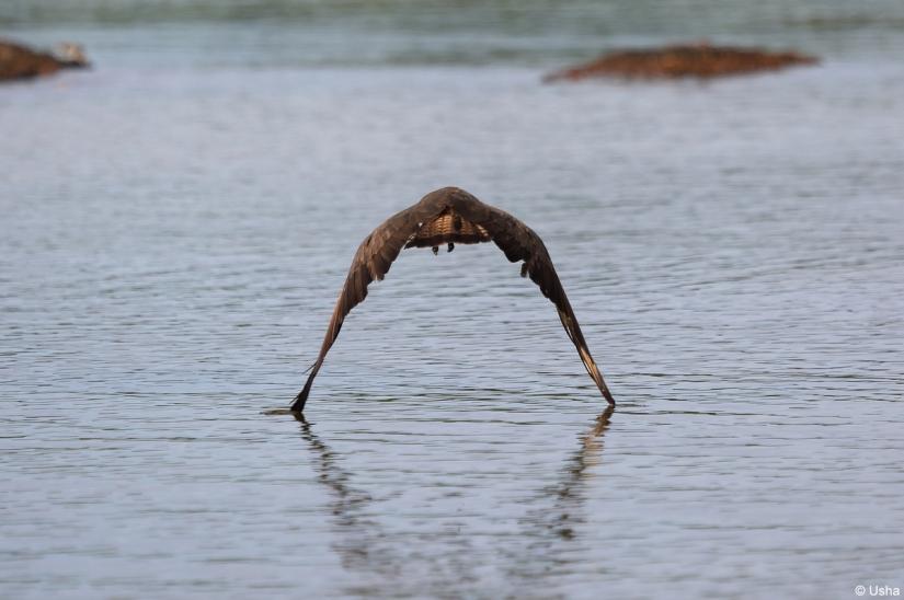Hammerkop flight