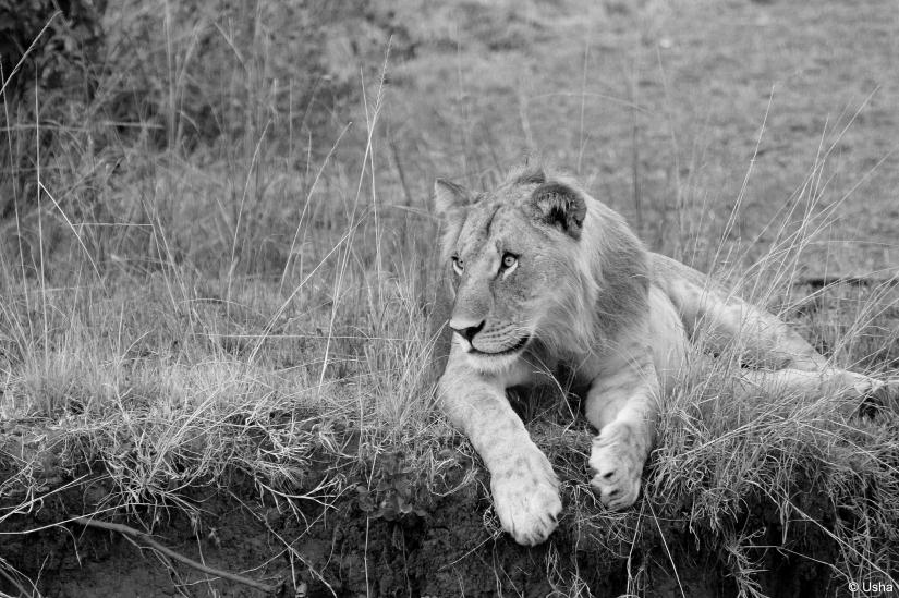 Alert lion