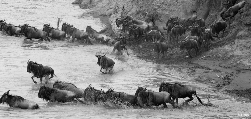Gnus crossing